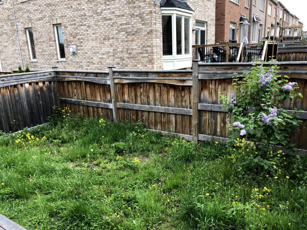 grass replacement near a fance before -  sod installation cost toronto