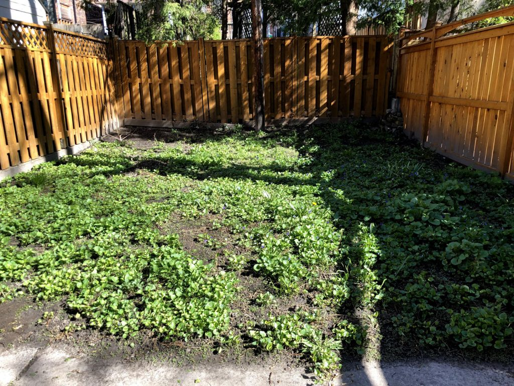 backyard lawn with weed before landscaping by jhc landscaping toronto