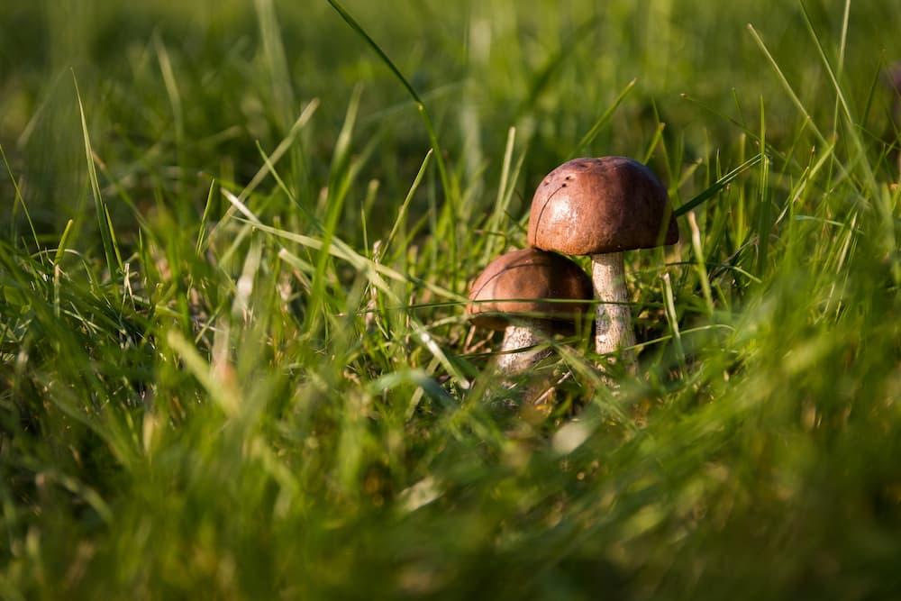 brown mushrooms growing in the yard